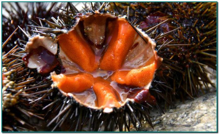 MENJAR GAROINES A ANDORRA ara les podeu comprar o encarregar a PEIXATERIES GOURMET ANDORRA - Les garoines, típiques de la Costa Brava, però aquest any no podem anar a la Costa Brava