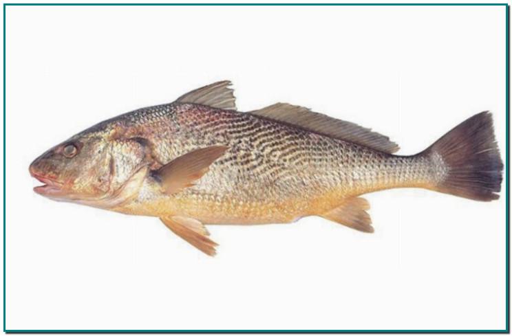 """Avui, és un plat d'aquells per treure's el barret, de debò. Un ranxet mariner molt similar a l'allipebre fet amb corball (""""corvina"""" o """"perca regia"""" en castellà). Un deliciós peix no massa utilitzat i que us recomano tastar. De carn molsuda però saborosa. De fet, era el peix favorit d'en Josep Pla quan anava als restaurants de costa."""