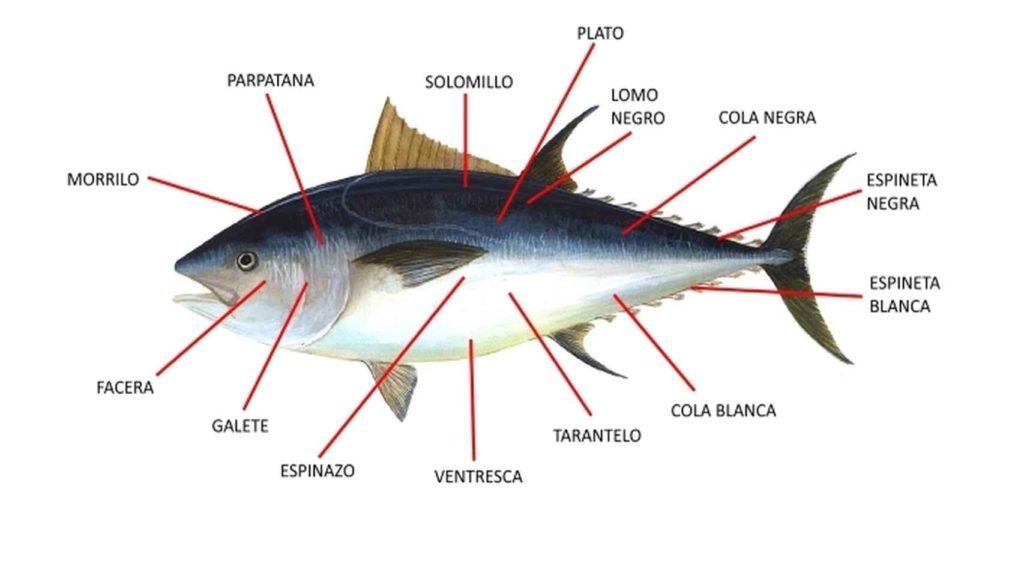 El cuerpo de atún puede dividirse en tres partes: cabeza, tronco y cola y su despiece se denomina ronqueo,
